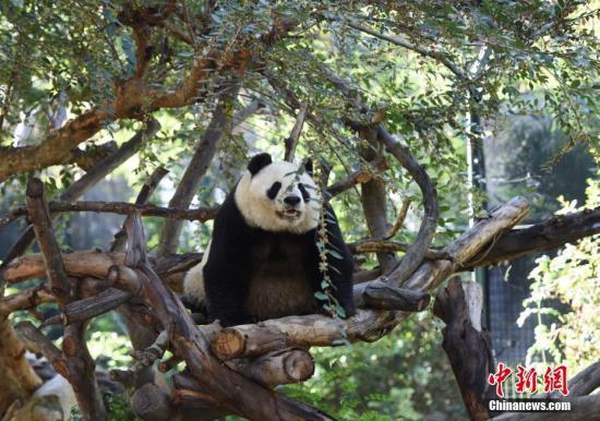 """资料图:美国加州圣地亚哥动物园内的中国""""国宝""""大熊猫""""白云""""。中新社记者 张朔 摄"""