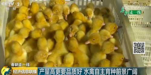 【春耕走一线】产量高更要品质好 水禽自主育种前景广阔