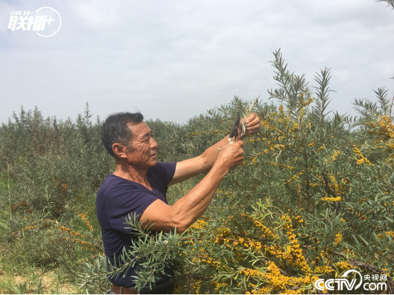 在库布其沙漠中的白土梁林场沙棘林内,林场管理员邓胜利展示沙棘树剪枝育苗技术。当地通过种植沙棘,既解决了荒漠化问题,又帮助农牧民增收,实现了生态和经济双重效益。