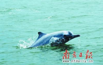 中华白海豚是国家一级重点保护水生野生动物,是极为濒危和珍稀的