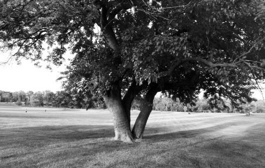 买得两棵大榕树