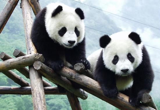 chinese pandas arrive in singapore cctv news   cntv english