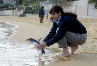 Taronga Zoo rangers returned three little Penguins to the wild at Camp Cove, Watson's Bay. Picture: Alan Place