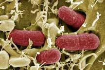 E. coli infection rates down in Germany