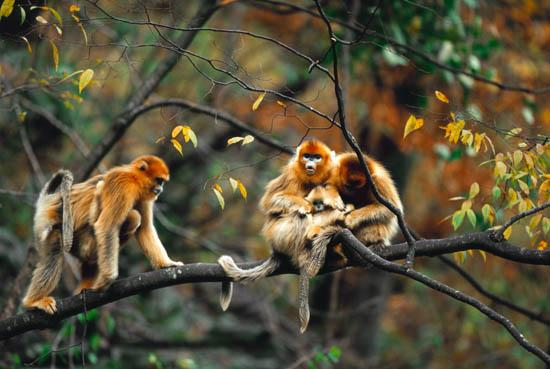 Picture of the Golden Snub-nosed Monkey (Sichuan Golden Hair Monkey in Chinese) from Chinese photographer Xi Zhinong