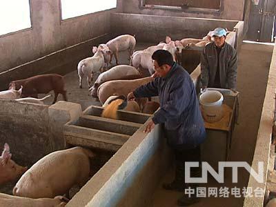 江苏涟水羊兆洪养猪:倔强老人冒险创业