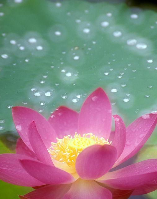 意境手绘莲花背景
