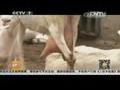 [聚焦三农]牛奶价格下滑 羊奶价格基本平稳(20140621)