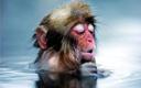 日本雪猴喜泡温泉 舒服到不能自理