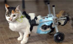 """""""猫坚强""""轮滑代步坚强求生"""