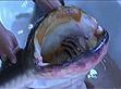 黑龙江渔民捕获巨型鲶鱼 重87斤长1.7米