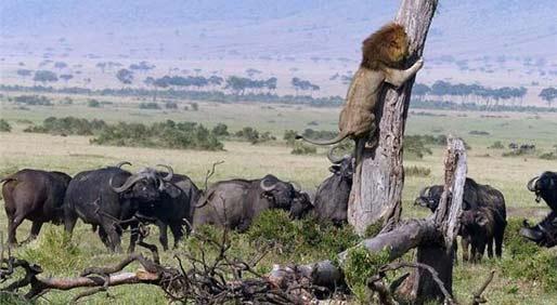 以后还咋混?狮子反被牛追无尊严爬树逃命