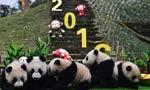 13只熊猫幼崽齐贺新春
