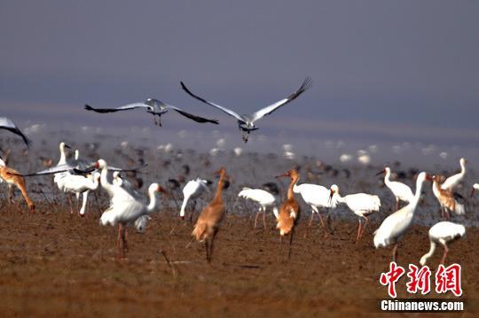 """白鹤被确定为江西""""省鸟""""98%的白鹤在鄱阳湖越冬"""