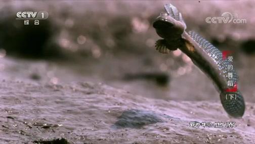 [动物世界]淤泥中也能求爱?弹涂鱼让你刮目相看