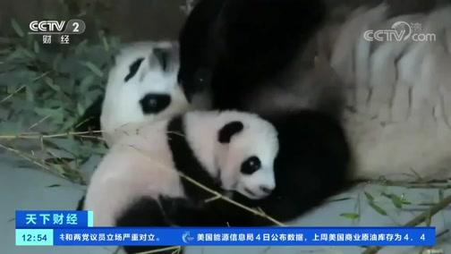 [世界财经]三只大年夜熊猫初次川外野化放归