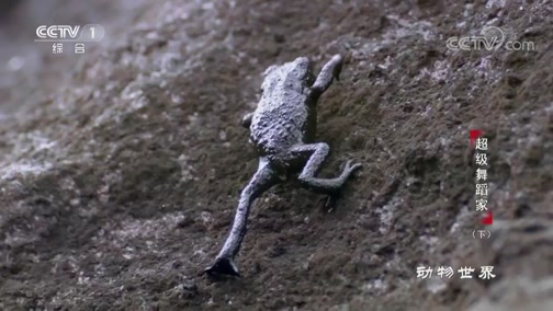 """[动物世界]卵石蟾的逃生秘术——不会跳?但我会""""滚""""啊!"""