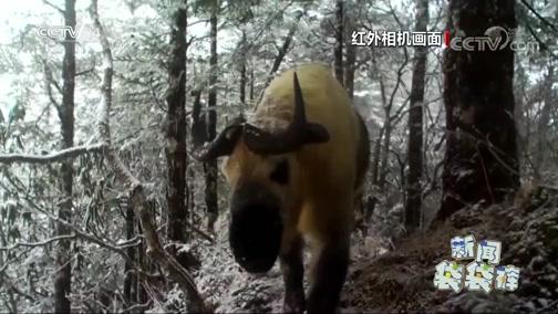 [新闻袋袋裤]四川白羊自然保护区拍摄到野生动物的活动影像
