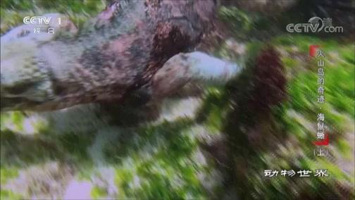 [动物世界]寒冷水域里红色和绿色的海藻是海鬣蜥主要的食物来源