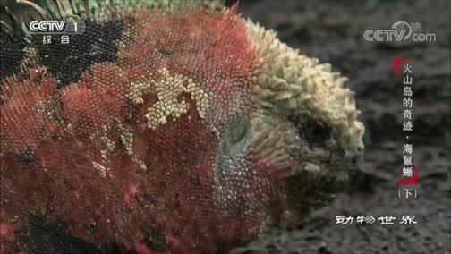 [动物世界]打赢了也无法收获芳心 雄性海鬣蜥有点失落