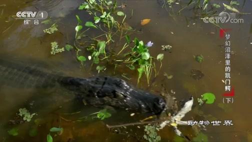[动物世界]小凯门鳄幼年死亡的主因居然来自成年同类