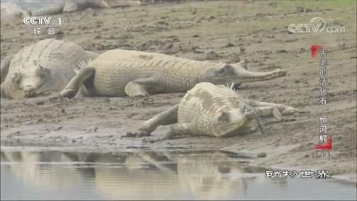 《动物世界》 20200328 古老的活化石·恒河鳄(上)