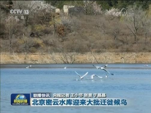 北京密云水库迎来大批迁徙候鸟