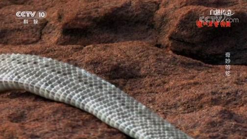 [自然传奇]响尾环随着蛇的年龄而变化