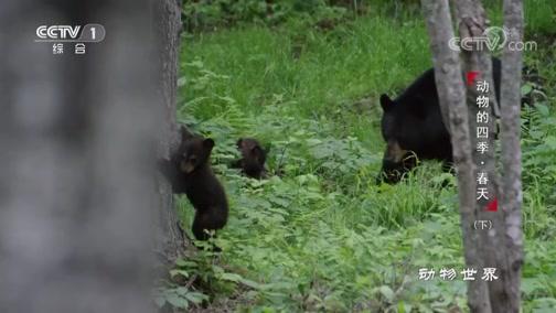[动物世界]黑熊幼崽努力学习新技能