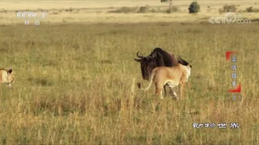 [动物世界]猫科动物通常单打独斗 但狮子是个例外