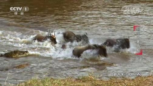 [动物世界]角马艰难穿越河流 鳄鱼趁机进攻捕杀