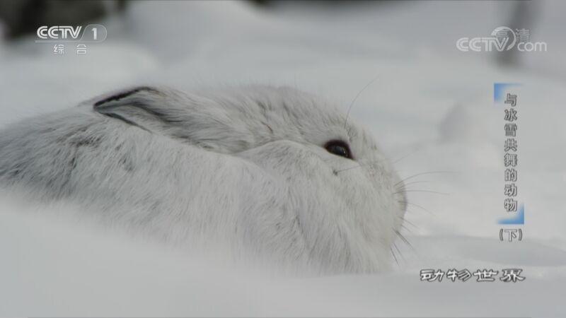 [动物世界]美洲兔与猞猁相生相克