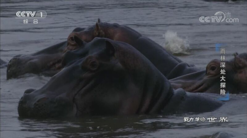 [动物世界]为了上岸吃草 年轻河马向老河马发起挑战