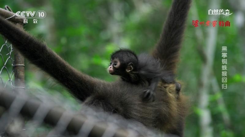 《自然传奇》 20210430 黑掌蜘蛛猴回归