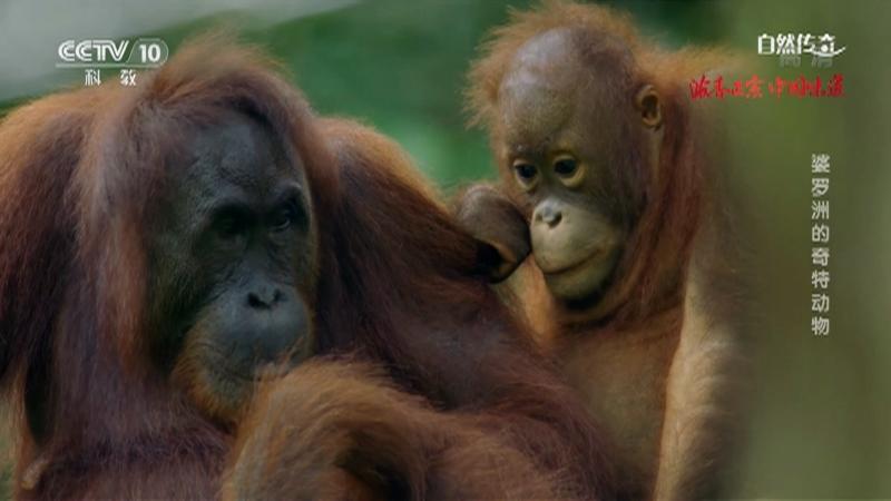 《自然传奇》 20210511 婆罗洲的奇特动物
