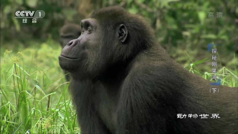 《动物世界》 20210513 探秘刚果河(下)