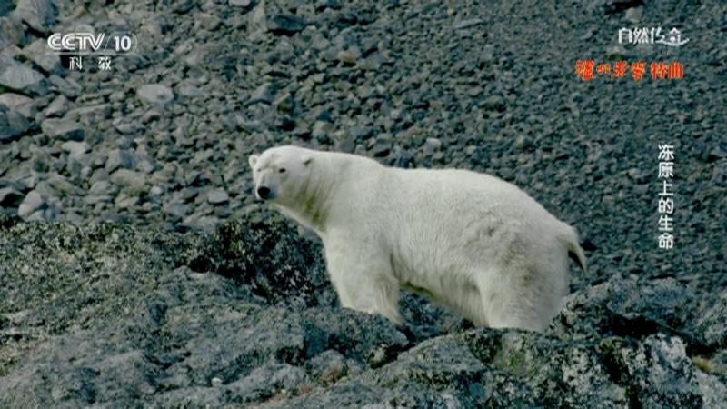 《自然传奇》 20210613 冻原上的生命