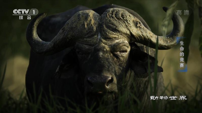 《动物世界》 20210716 生命的竞赛
