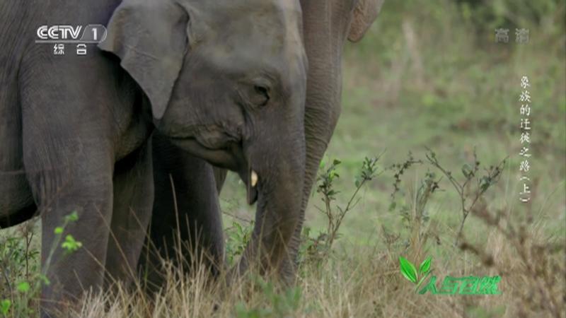 《人与自然》 20210828 象族的迁徙之路(上)