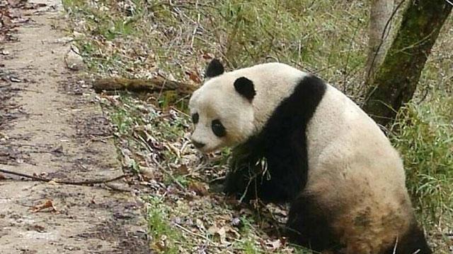 陕西周至邮递员路遇野生大熊猫