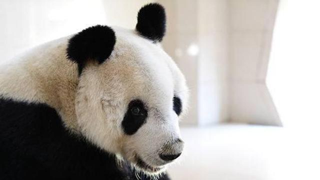 """大熊猫""""园园""""赴奥地利""""出差""""四年"""