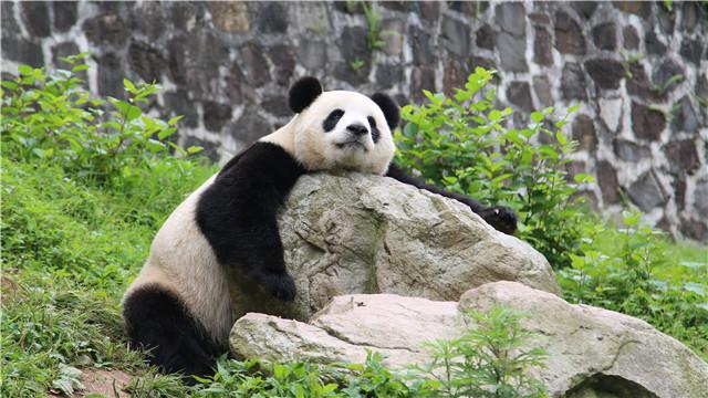 中国大熊猫国家公园今秋将出蓝图