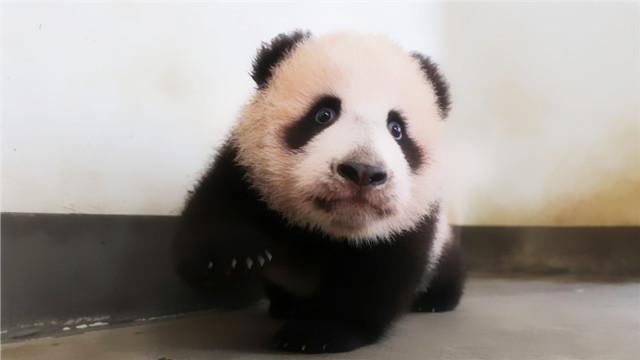 上海大熊猫宝宝公开征名
