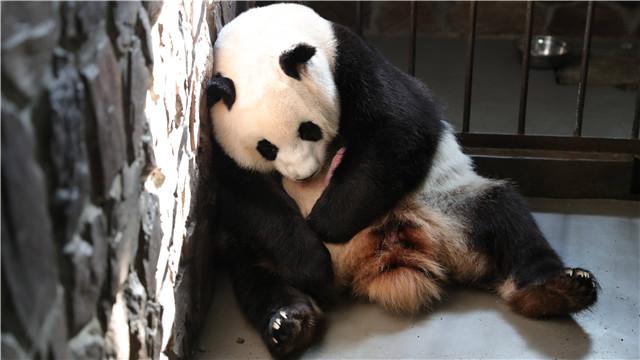 2019年全球首只圈养大熊猫幼仔出生