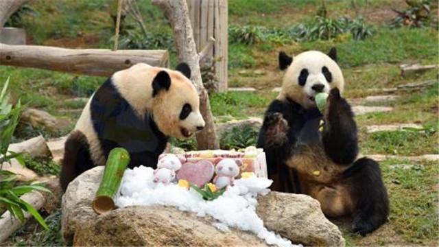 """澳門大熊貓""""健健""""""""康康""""3歲了!"""