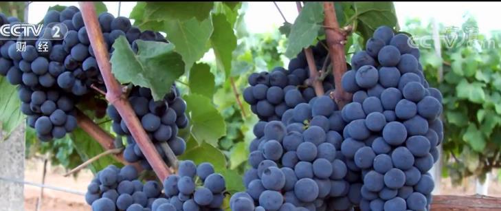 法国博若莱新酒节临近 生产商表示担忧关税问题