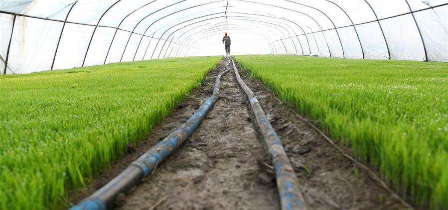 元宝村的农户在育秧棚中浇稻苗