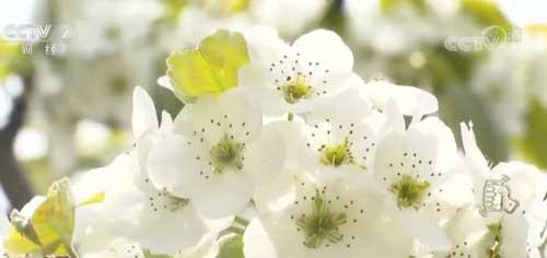 河北平泉:梨花盛开如雪 美景如画醉人