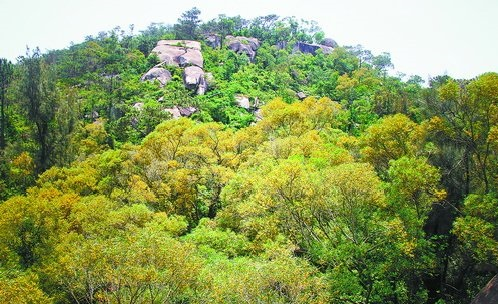 相思树长在岩石遍布的梧村山上,成为绿化的重要树种。