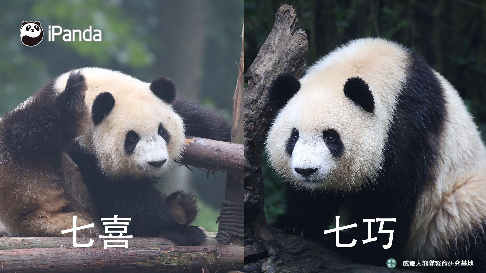 """双胞胎""""七喜""""""""七巧"""""""